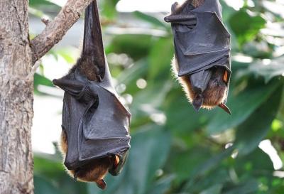 ВОЗ: коронавирус не передается человеку от летучих мышей